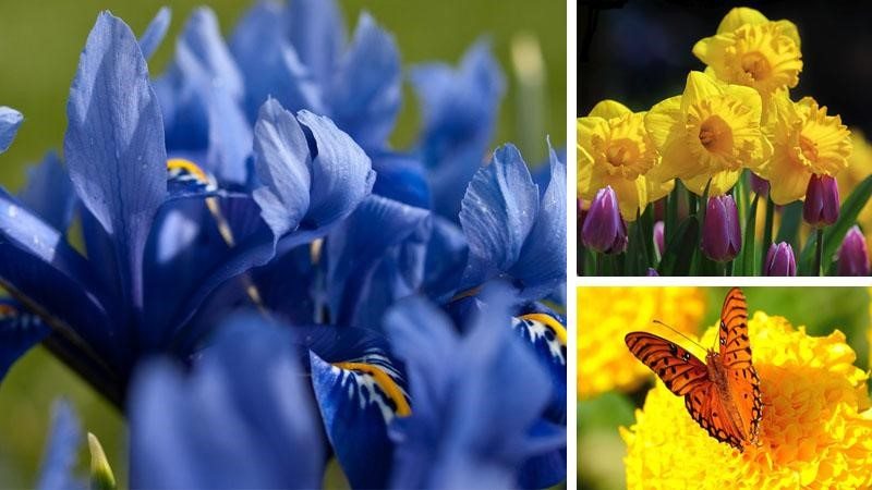 Irises, Daffodils and Marigolds